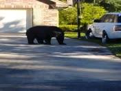 Bear in Sweetwater