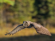 My First Great Gray Owl Sighting
