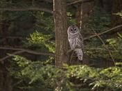 Barred Owl Habitat