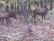 Elk in Benezette , Pa