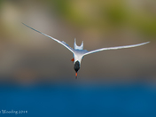 Common Tern Entering Dive