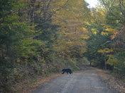Bear in Fall