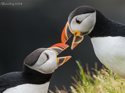 Atlantic Puffins Courtship