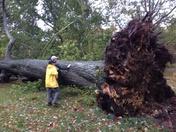 Tree down at Arnold Arboretum