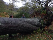 Arnold Arboretum tree down in Nor' easter