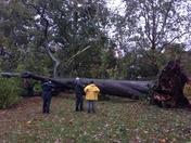 Arnold Arboretum tree down