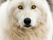 Arctic wolf looking at me