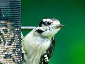 Beautiful Woodpecker At Our Feeder