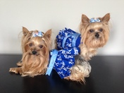 Yorkies Rooting for Royals!