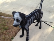 Brodi the skeleton Dog