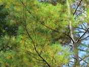 Ontario White Pine