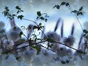 Clematis Flowers Gone to Seed