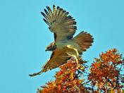 Hawks on the hunt