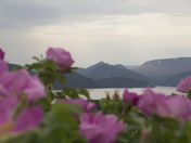 Roses at Norris Point