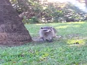 2014-11-12 Eager Egrets and Rambunctious Racoon