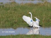 Banded Great Egret
