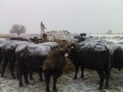 Checking Cattle