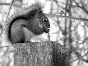 B&W Squirrel