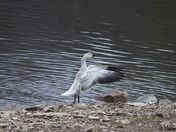 Conductor Goose