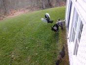 Turkeys In Hunt Valley