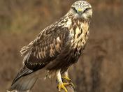 Posing Hawk