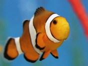 clownfish close up