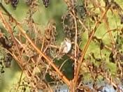 Lancaster Rufous Hummingbird