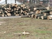Denver Borough park removing 95 live trees half of park trees.