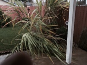 sugarcane came down because of high wind