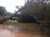 old oak tree down from storm!