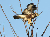 Rough- legged Hawk