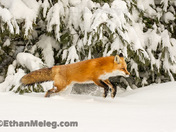 Red Fox bounding through fresh snow