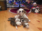 Bull dogs dedicated to Santa and his cause.
