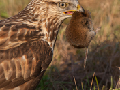 Rough-legged Hawk with vole