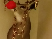 Rudolph in our house. ..