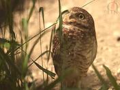 Burrowing Owl, Southern Alberta