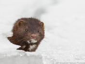 Bow River Mink