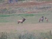Elk in Amalia, NM in 9/14.  Photo by Bernie Jaramillo (Questa, NM)