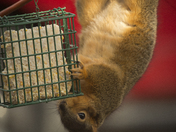 Suet raiding squirrel