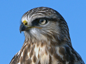 Hawk's Portrait
