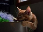 orange rescued kitty