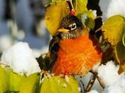 Robins Winter