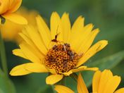 New bug to my garden: visiting my coreopsis.