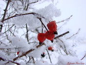 Winters Sleeping Rose