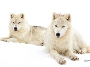 Male et female Wolfes