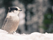Grey Jay in the Snow