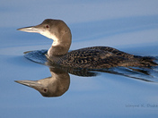 Loon's Reflection