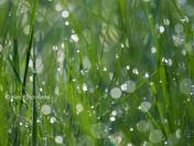 Grass Fairies