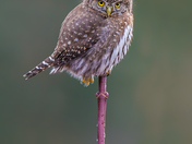 Northerm Pygmy Owl