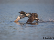 Common Loon take off